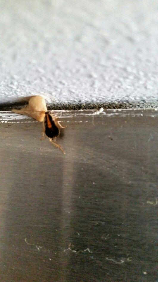 Duitse kakkerlakken