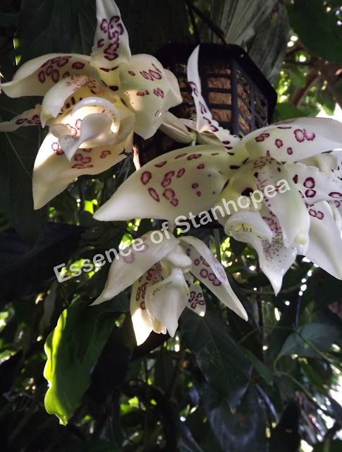 My stanhopea gibbosa - rare orchid with strong herbal/spicy scent #stanhopea #orchid #garden #plants #nature