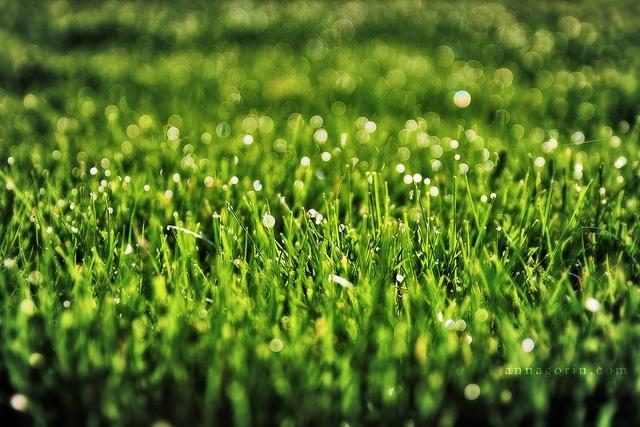Dewdrops On Grass Blades