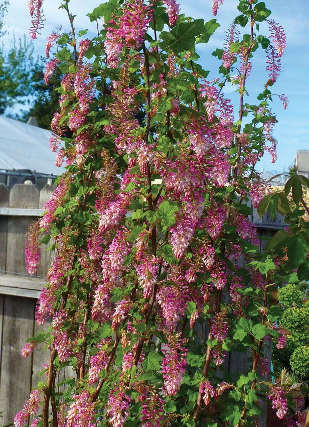 Ribes Sanguineum Claremont Pink Flowering Currant Buy Online