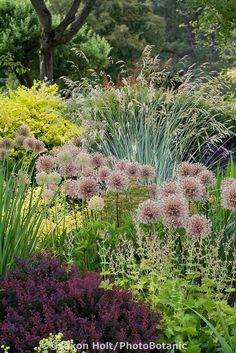 Plant tapestry of ornamental onions seedheads (Allium), grasses, perennials, and…