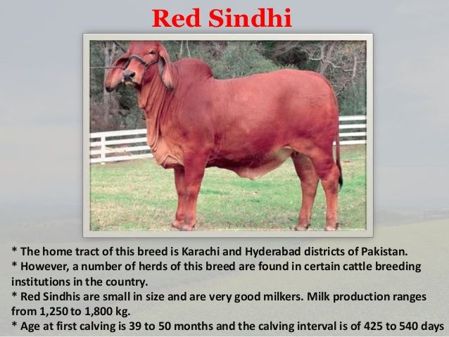 red sindhi cow | Desi Cow | Cow, Cattle, Farm yard