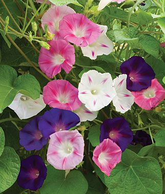 Morning Glory, Zeeland Hybrid Mix An exciting blend of all morning glory colors including some very unusual bicolors. Burpee Exclusive This strain is exceptionally fast-growing and quick to flower, so its great for northern gardeners. Plants get 15 ft. tall and flower prodigiously from midsummer on. Grows best in full sun.