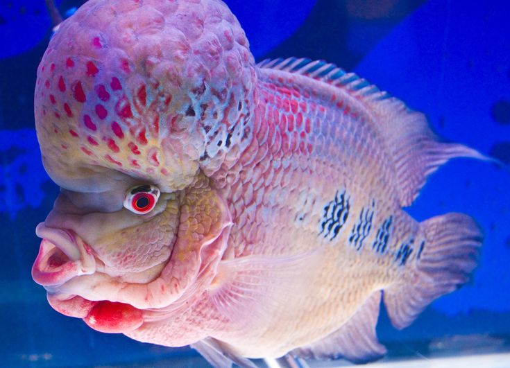 "This funny and cute looking fish is called ""Flowerhorn fish"". The bigger and more colorful the fish's hump is, the more expensive it is. This picture is taken at J.J. Mall, Bangkok, Thailand."
