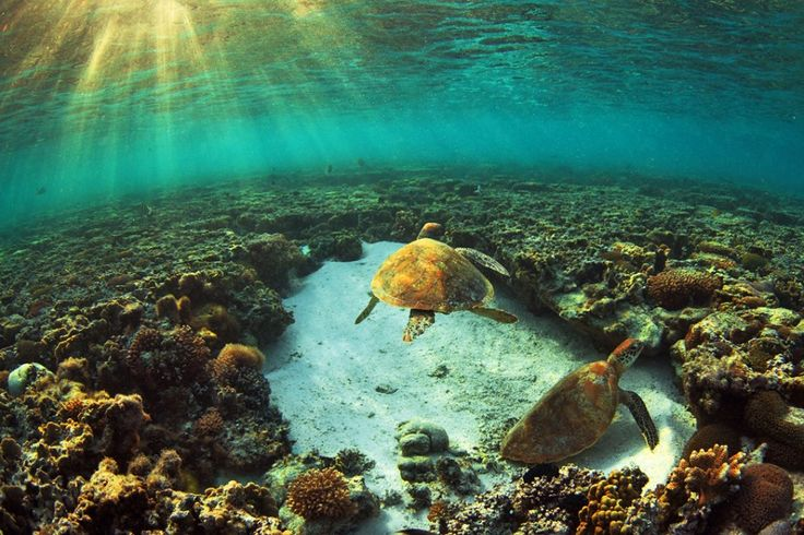 Just another day on the Great Barrier Reef. Location: Lady Elliot Island #turtles #reef #island @MatadorNetwork