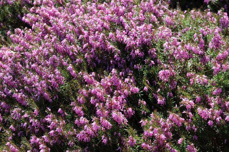 Pink Heather winter butchartgardens Butchart gardens