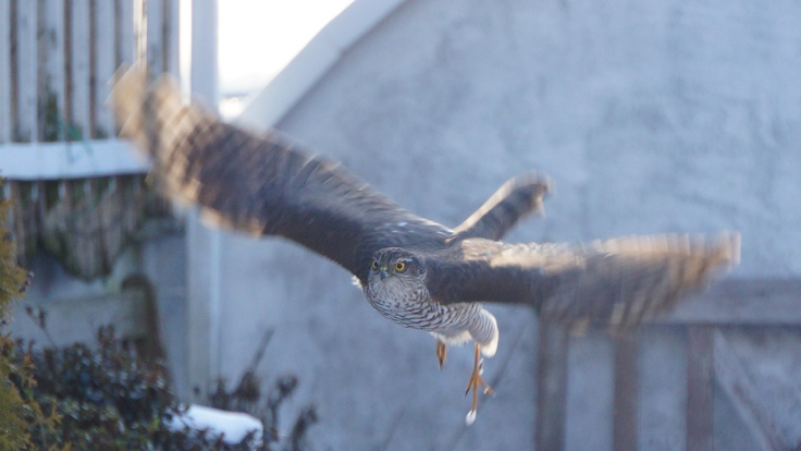 Eurasian Sparrowhawk flying towards me