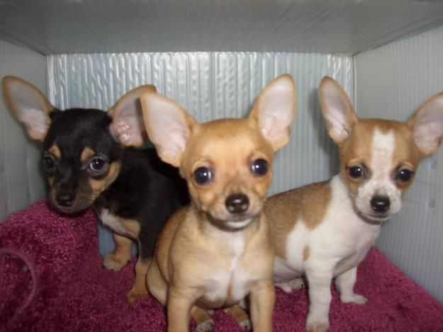 chihuahua puppies for sale Zoe Fans Blog Cute Baby