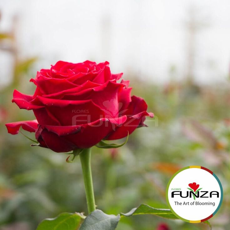 Red Rose from Flores Funza. Variety: Freedom, Availability: Year-round