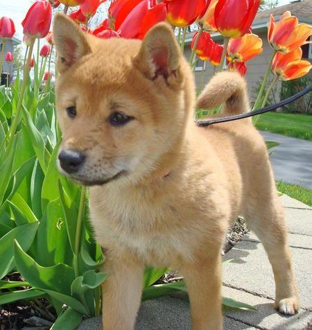 Shiba Inu- favourite type of dog