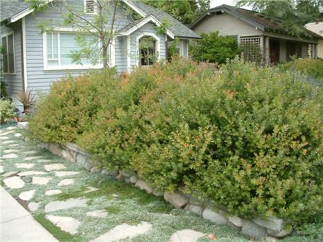 Arctostaphylos 'Sunset' 4'x6' hummingbirds and other birds