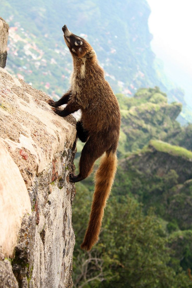 """by Marcelo Rodríguez. """"A beautiful white-nosed Coati climbing a pyramid on the Tepozteco mountain of Tepoztlan, Mexico."""""""