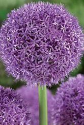Allium Globemaster- Bulbs