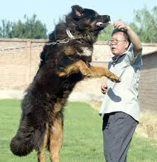 Tibetan mastiff is better