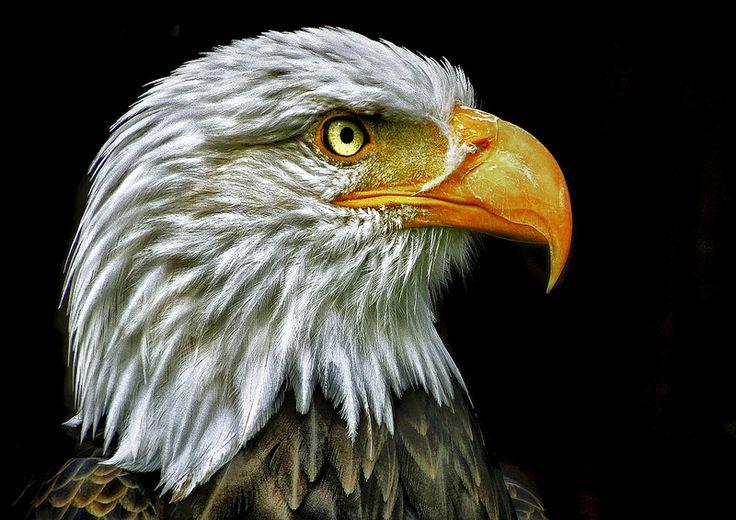 Details of a Bald Eagle