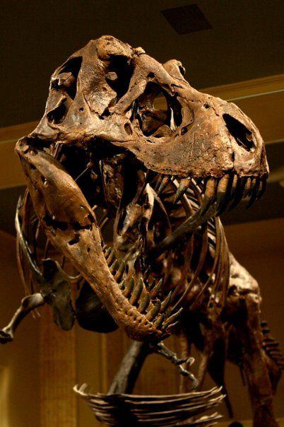 "Tyrannosaurus_rex.jpg (402×604) - Moulage de ""Stan"" à l'entrée du Dinosaur Discovery Museum. Dinosauria, Saurischia, Theropoda, Tetanurae, Coelurosauria, Tyrannoptora, Tyrannosauroidea, Tyrannosauridae, Tyrannosaurinae, Tyrannosaurini. Auteur : Brontoraptor86, 2008."