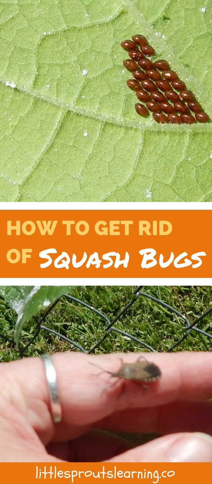 How to get rid of squash bugs gardening garden pests - How to get rid of bugs in garden ...