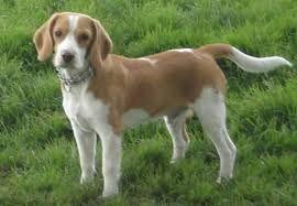 Resultado de imagem para beagle bicolor