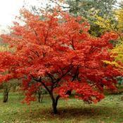 Le dictionnaire des plantes par Ooreka.fr : Érable du Japon (fiche d'identité, variétés, plantation, culture, entretien et maladies)