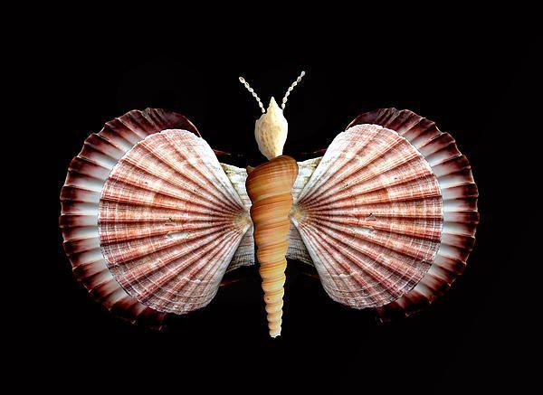 Mariposa de conchas, conchas de mariposa