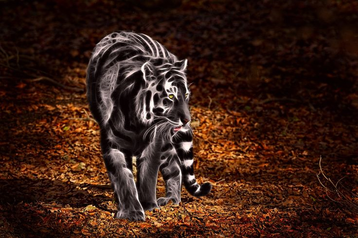 Black and white tiger by megaossa on DeviantArt