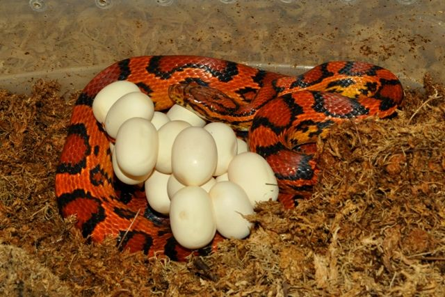 Okeetee Corn Snake Elaphe guttata guttata With eggs.Corn snakes are one of very few snakes  that haven't been bred and cross bred a hundred times to make some new color morph.(Not to say that some Corn breeders don't or haven't tried)These are natural beauty's and don't need the extra help to look this way.