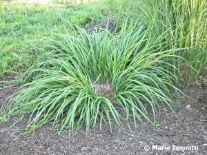 Successfully Dividing Perennial Plants: Tips for Successfully Dividing Your Perennial Plants