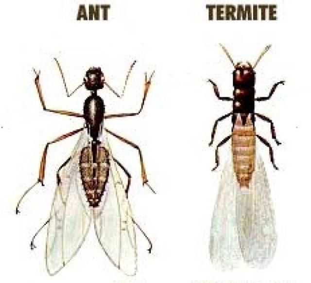 10 Tips on How to Control Flying Ants. 25  unique Flying ants ideas on Pinterest   Carnivorous plants