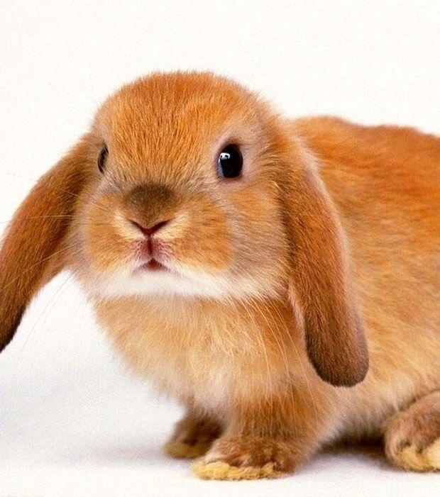 Le lapin bélier roux