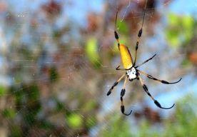 4-Nov-2013 11:42 - MOEDER KRIJGT DODELIJKE SPIN BIJ BANAAN. Een Engelse moeder kreeg vorige week de schrik van haar leven toen ze een lekker banaantje wilde eten. Volgens Sky was de tros van de Sainsbury's namelijk bezaaid met dodelijke bananenspinnen. Het Guinness World Records-boek zette de Phoneutria in 2010 op plek 1 in de categorie meest giftige spinnen. De beestjes zijn daarbij ook nog eens heel agressief. Een beet kan ondermeer verlies van de spierspanning, ademproblemen,...