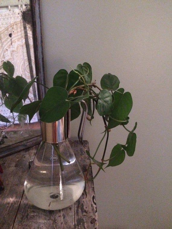 Zimmerpflanzen Herzblatt-Philodendron – verwurzelte Philodendron-Zimmerpflanze – nachlaufender Philodendron – einfache Zimmerpflanze – Pflanze bei schwachem Licht