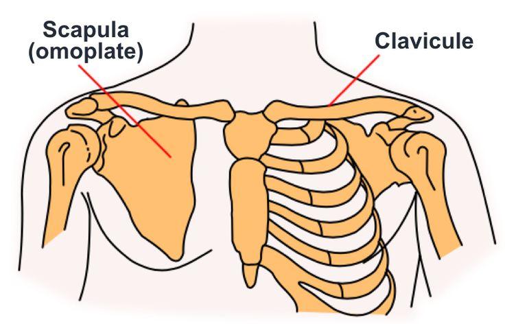 Os plat, pair et symétrique (les omoplates), de forme triangulaire, du dos. Du latin scapula(épaule). Appelé aussi :Omoplate (ancienne nomenclature) Anglais :Scapula – Blade (lame osseuse) Russe…