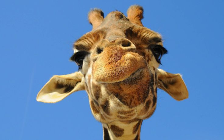 funny giraffe pictures | ... portrait picture of a giraffe | HD giraffes wallpapers - backgrounds