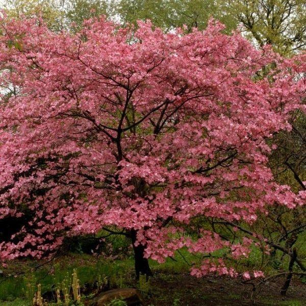 Red Osier Dogwood Flowering Trees Dogwood Trees Dream Garden