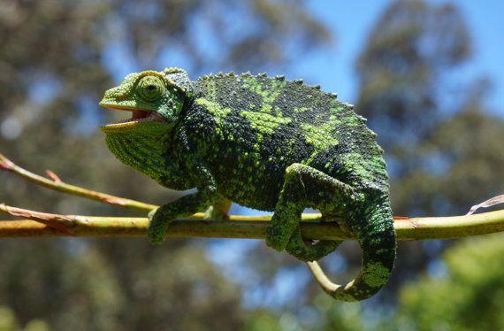 Jackson's Chameleon female by BottegaDesigns on Etsy