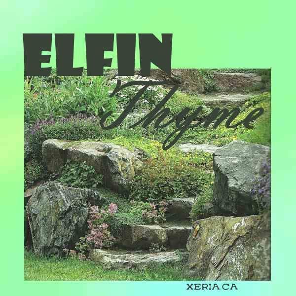 Thymus serpyllum 'Elfin' - the diminutive and sweet Elfin thyme