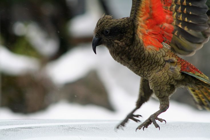 kea in flight by felicity jean photography www.fleaphotos.co.nz