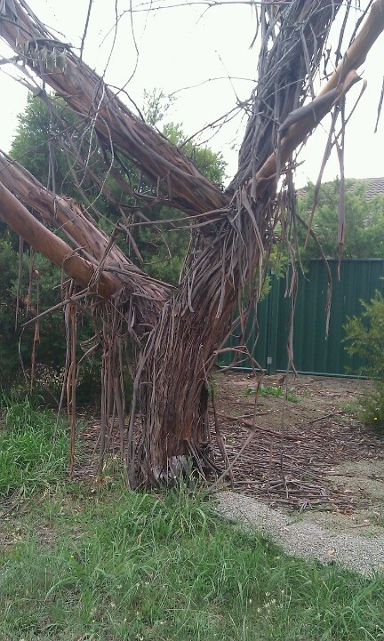 Stringy bark gum tree in Canberra
