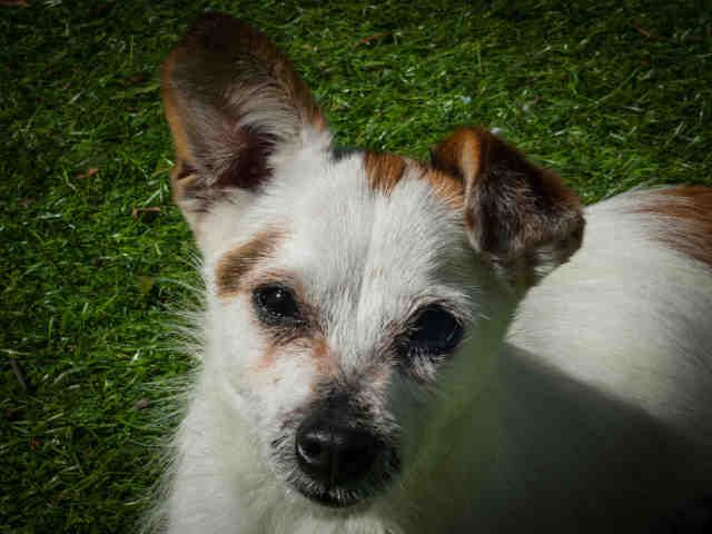 TRIXIE is an adoptable Jack Russell Terrier (Parson Russell Terrier) searching for a forever family near Ojai, CA. Use Petfinder to find adoptable pets in your area.