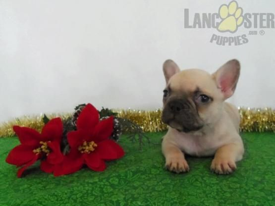 Darla French Bulldog Puppy For Sale In Wooster Oh Lancaster