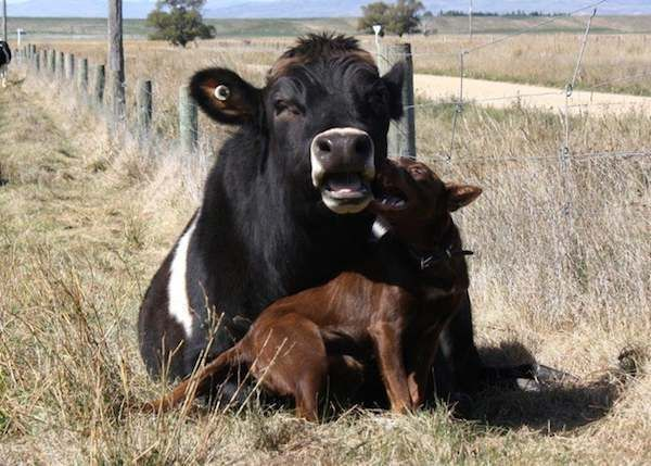 Cattle dog and steer are unlikely best friends » DogHeirs | Where Dogs Are Family « Keywords: unlikely friendship, Australian Kelpie, cow, Kelpie