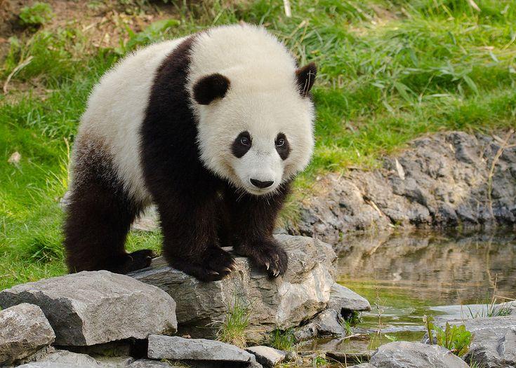 Giant Panda   Pairi Daiza