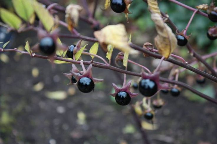 Deadly Nightshade, a notoriously toxic plant, found in the poison garden at Alnwick Garden in Northumberland
