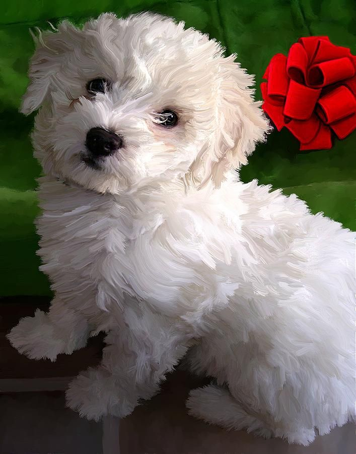 Bichon Frise pup opawz.com  supply pet hair dye,pet hair chalk,pet perfume,pet shampoo,spa....