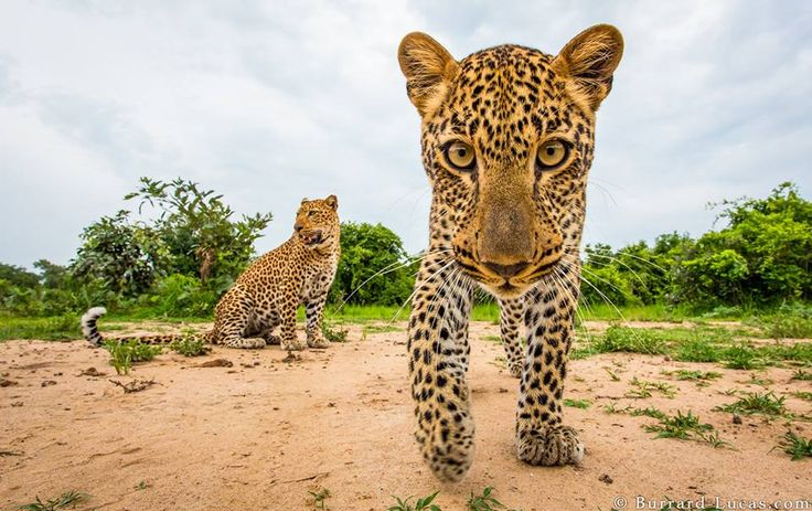Playful leopard cub, photographed with BeetleCam, South Luangwa, Zambia.