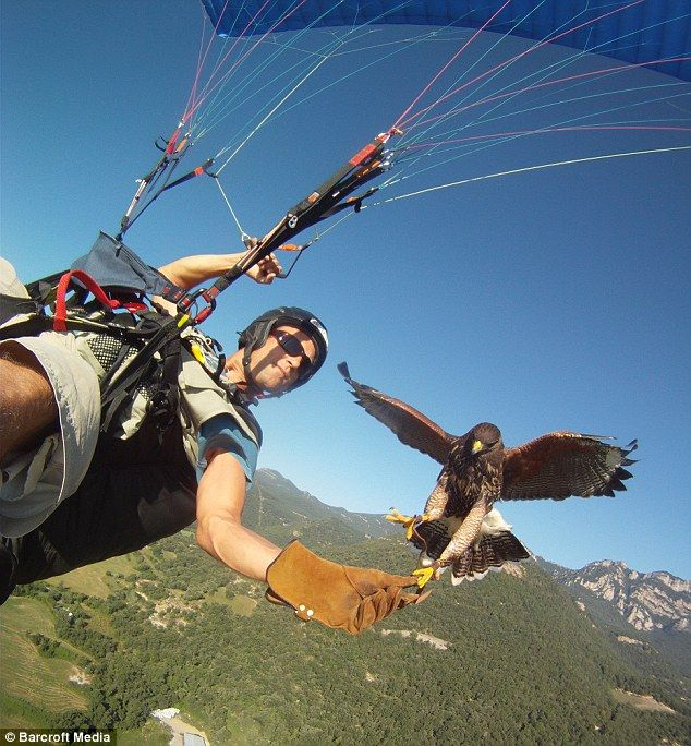 Paragliding with hawks