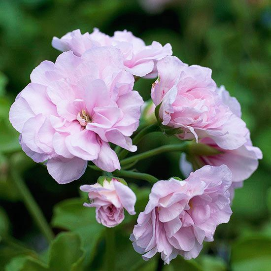 The old-fashioned standard for #beds, #borders, and #containers, #geranium is still one of the most popular plants today. Though most geraniums are grown as annuals, they are perennials in Zones 10–11. Find out more about geraniums here. #gardening #flowers