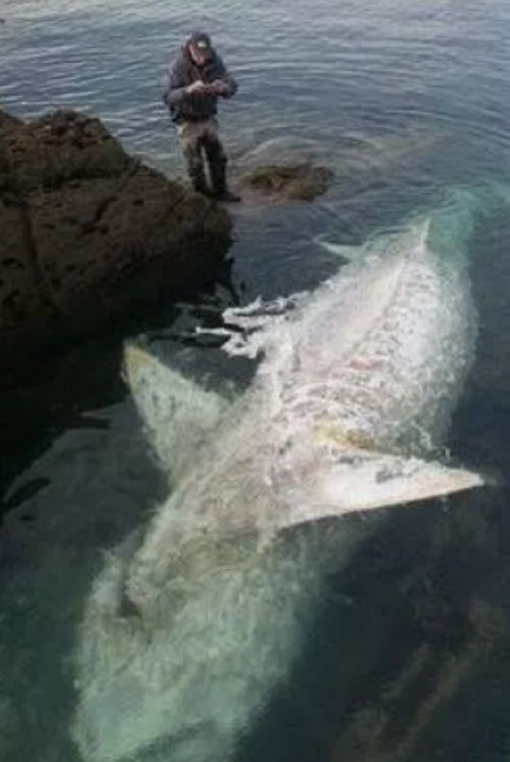 20bac89da Monster Shark 25 Ft Washes Up Dead On Rocks At British Beauty Spot In  Heartbreaking Footage