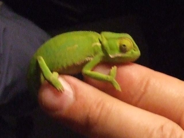 Chameleon?