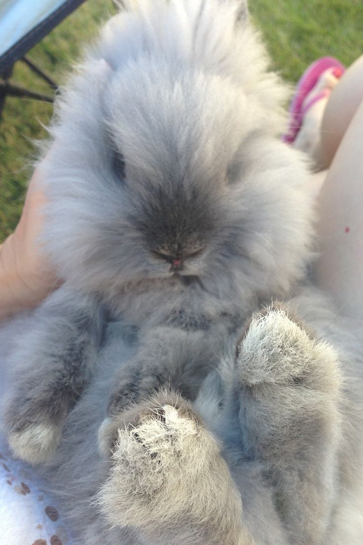 Brown and white lionhead rabbit - photo#18